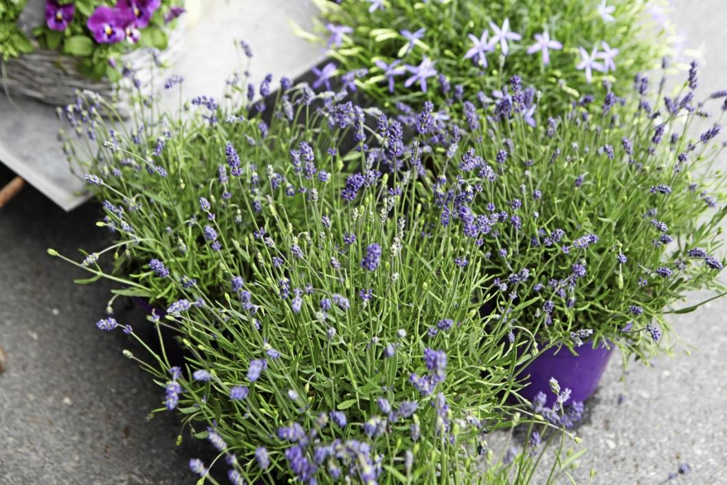 GJØR DET ENKELT: Lavendel gjør seg godt på bordet, både fordi den ser pen ut og fordi den dufter godt.