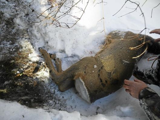 MÅTTE AVLIVES: I forrige uke måtte et rådyr avlives i Fjellveien på Kolbotn. Dyrene er ekstra sårbare for tiden.