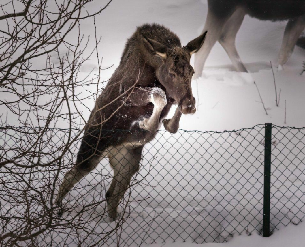 FOR EN SPRETTEN SØTING: Her ser du den ene elgkalven som har bosatt seg i nabolagene i syd i fullt sprang over et gjerde fredag morgen.
