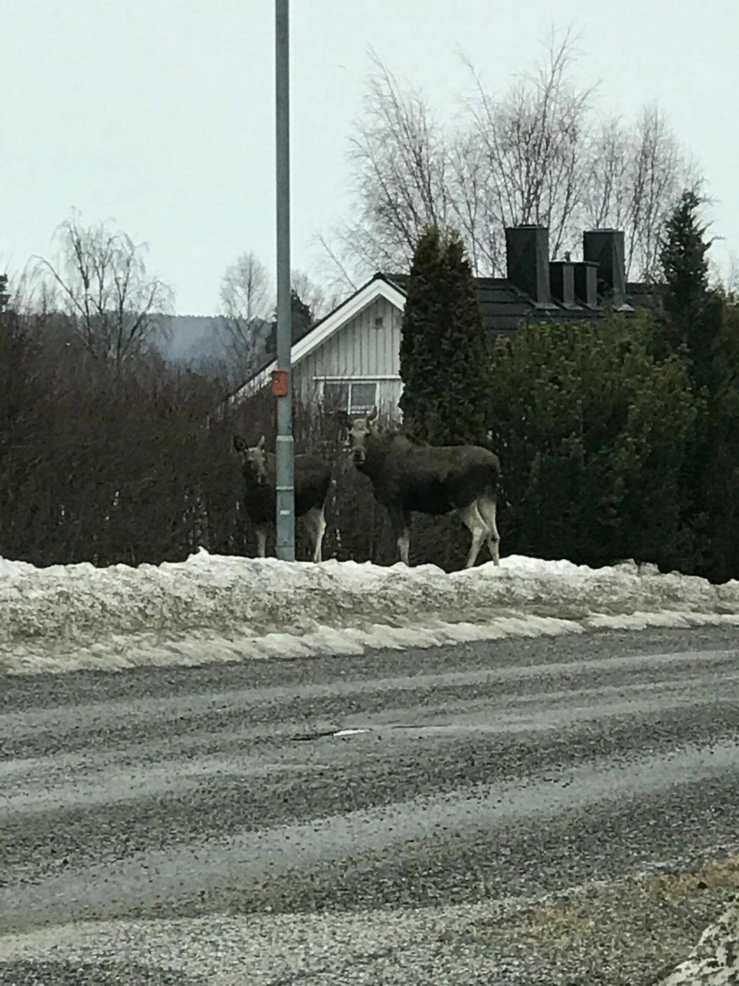 ELG I HELGEN: Søndag morgen 8. april tok en av våre lesere dette bildet av to nye elger i Flåtestadveien.