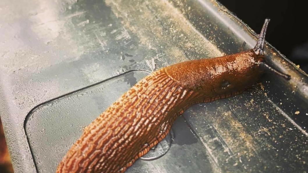 ÆSJ: Her ser du den ekle, brune karen som vår leser fant i dag. Brunsneglen er altså nå tilbake!