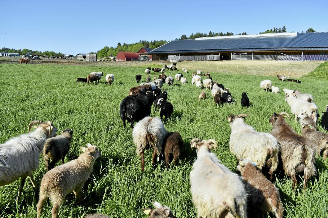 LOTS OF LÅVE: Ny låve har sauene fått, og her kan de selv velge om de vil være inne eller ute, og når de skal spise.