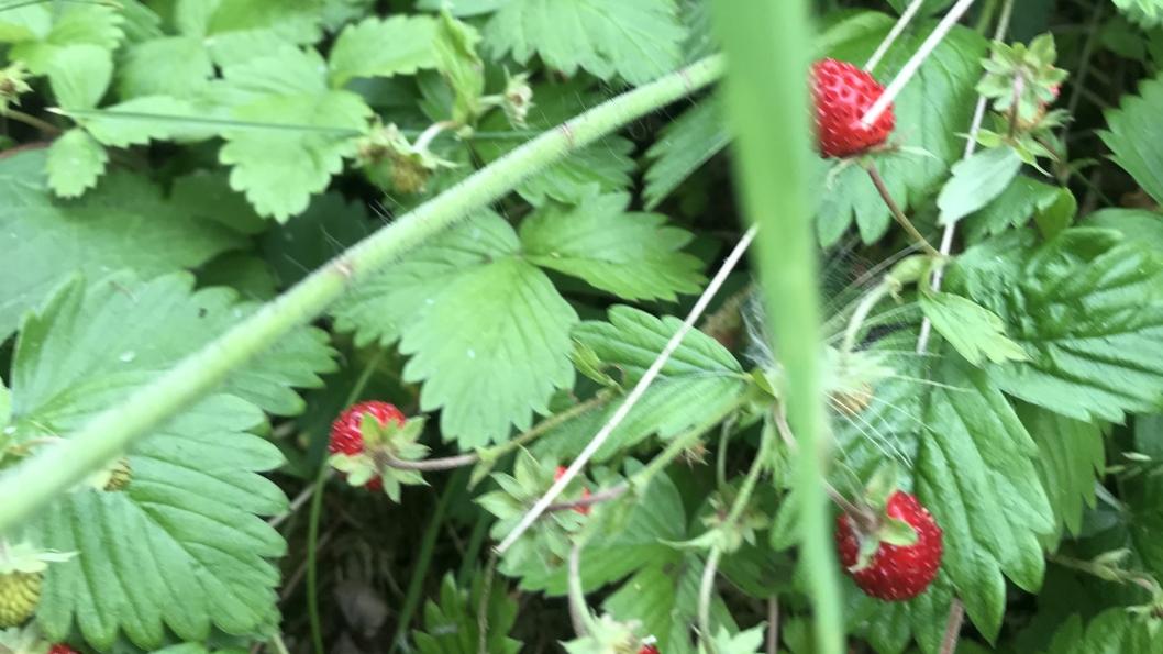 GULLGRUVE: Det er ikke mye som er bedre enn å finne markjordbær når man er ute på tur.