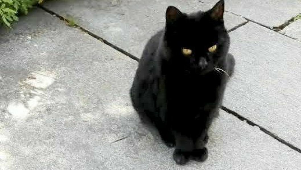 """KATT PÅ AVVEIE: Denne katten har tatt bo hos et ektepar på Sofiemyr den siste måneden. Nå håper """"fosterfamilien"""" å komme i kontakt med eieren."""