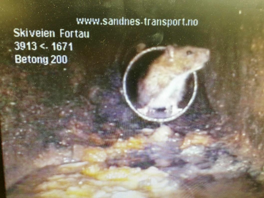 KOSER SEG I FETTET: Sandnes Transport, som hjelper kommunen med å spyle rørene i Oppegård, har nylig fotografert denne rotten i Skiveien. Foto: UTE Oppegård