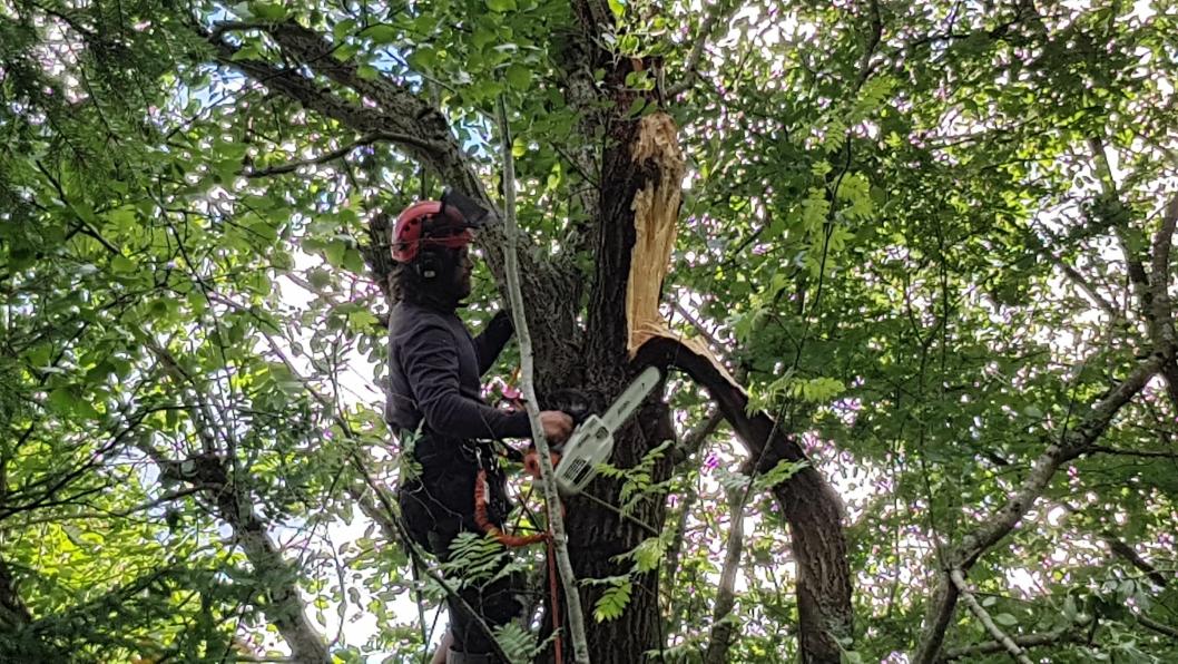 I ARBEID: Bildet viser Emil Sæthern fra UTE Oppegård som er i ferd med å felle et tre.