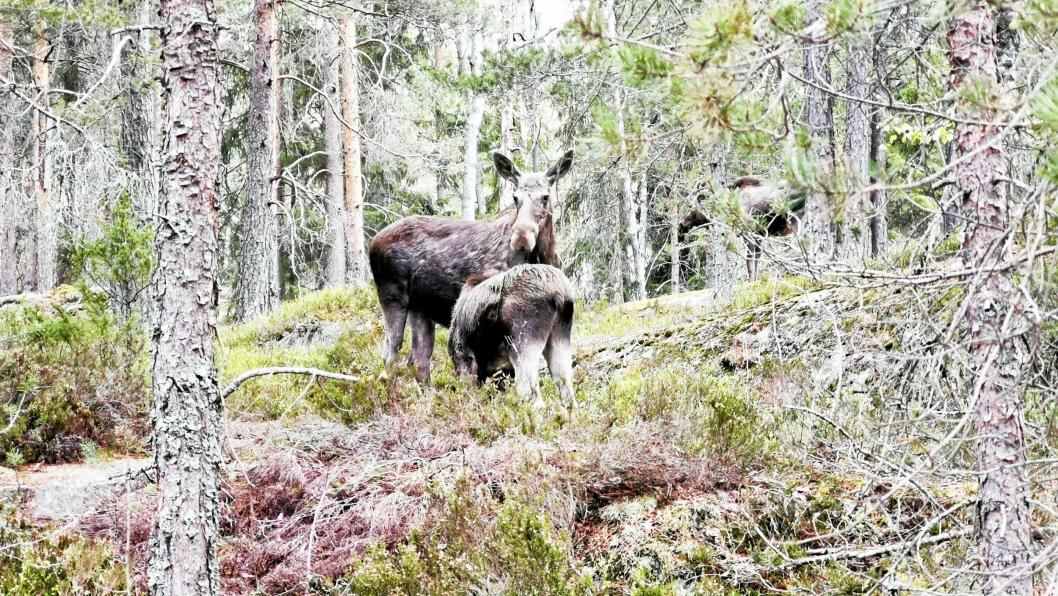 DØDELIG UTGANG: Mandag formiddag går Oppegård kommune ut med melding om at den aggressive elgkua i Grønliåsen er avlivet. Kalvene er igjen.