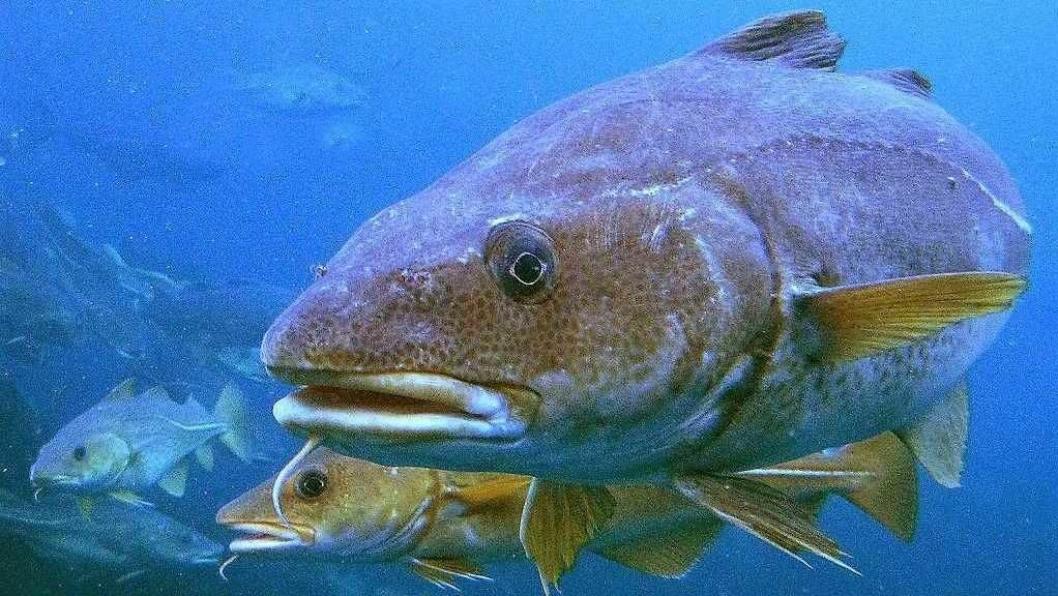 FISKEFORBUD FRA 15. JUNI: Nå er det ulovlig å fiske etter torsk i Oslofjorden. Torskebestanden i Oslofjorden blir stadig mindre og mindre. Snart kan den være utryddet.