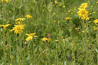 Skjøtsel i en pollinatorvennlig kommune