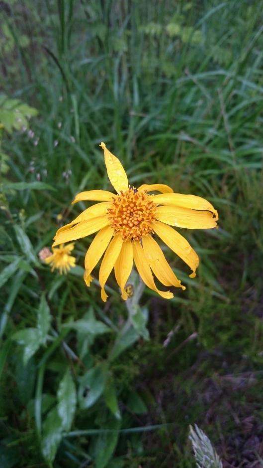 – IKKE PLUKK SOLBLOM: – På bildet kan du se en solblom fra kirketomten i år. Nå så jeg at de få blomstene som var der var borte. De er antakelig plukket. Vi vil be om at folk ikke plukker denne utrydningstruete blomsten, oppfordrer Mariella Nora Isabella Filberg Memo.