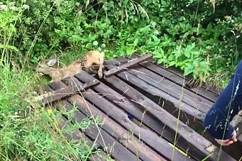 Bambi satt fast i hagen