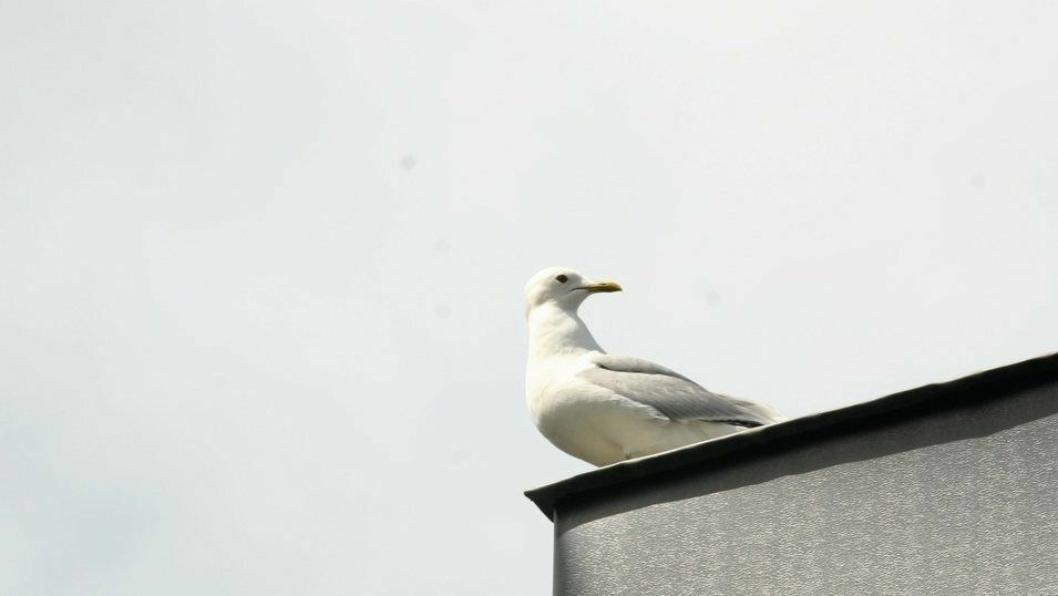 IKKE FJERN:  Måkereiret til fiskemåken, som ble fjernet 12. juni i fjor, lå på en takterrasse i et borettslag på Kolbotn. Det er ulovlig å fjerne måkereir og unger i hekketiden, uansett hvor irriterende de måtte være. Det dreide seg i tillegg om en fiskemåke, en fugleart som står på rødlisten.