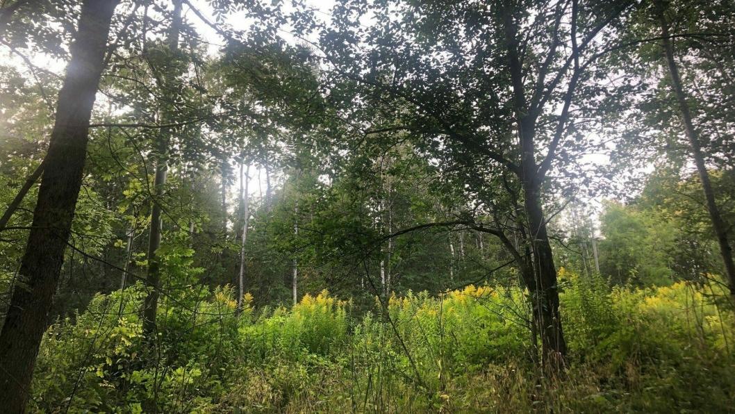 SVARTELISTET: Kanadagullris danner store bestander i Sørøst-Norge, der den fortrenger den naturlige vegetasjonen.