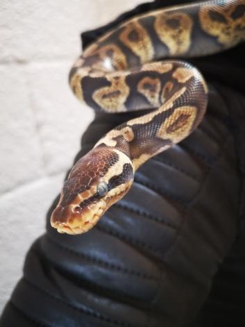 UFARLIG: Ifølge eieren Oliver Magnussen, er denne slangen helt ufarlig. – Katter er farligere og biter verre, sier han.