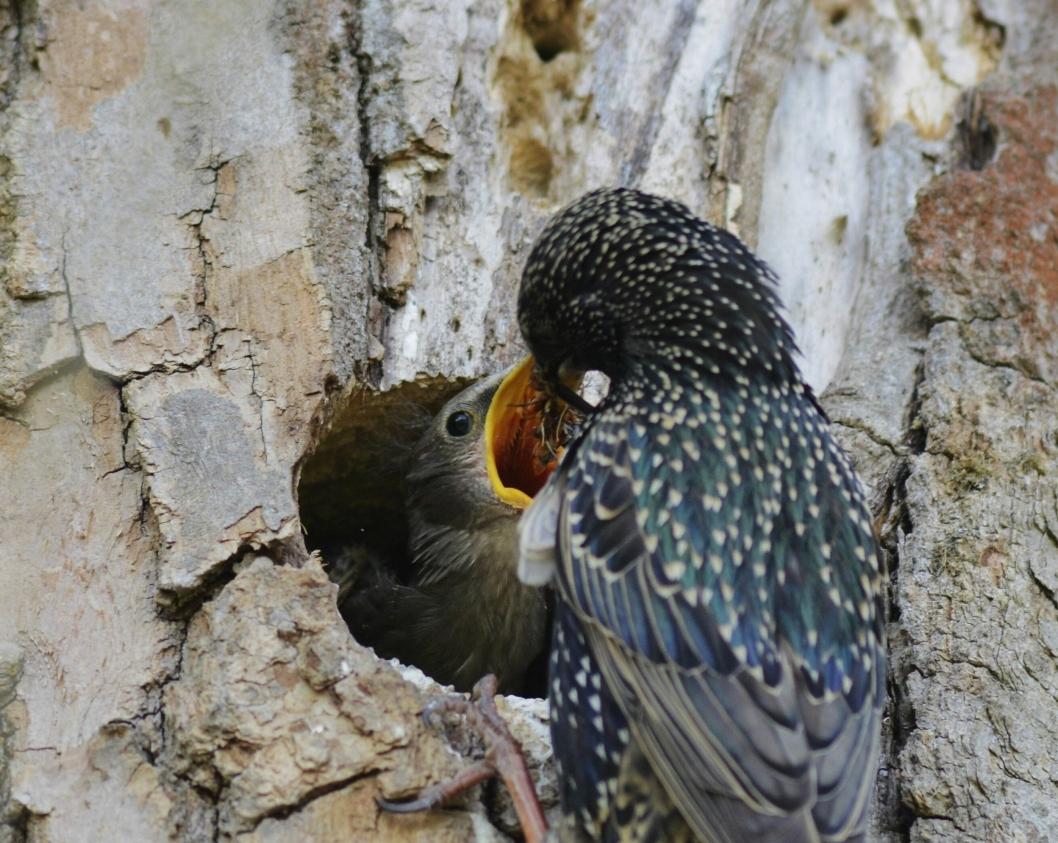 HULE TRÆR: Stær og andre hekkende fugler finner både mat og redeplasser i hule trær.