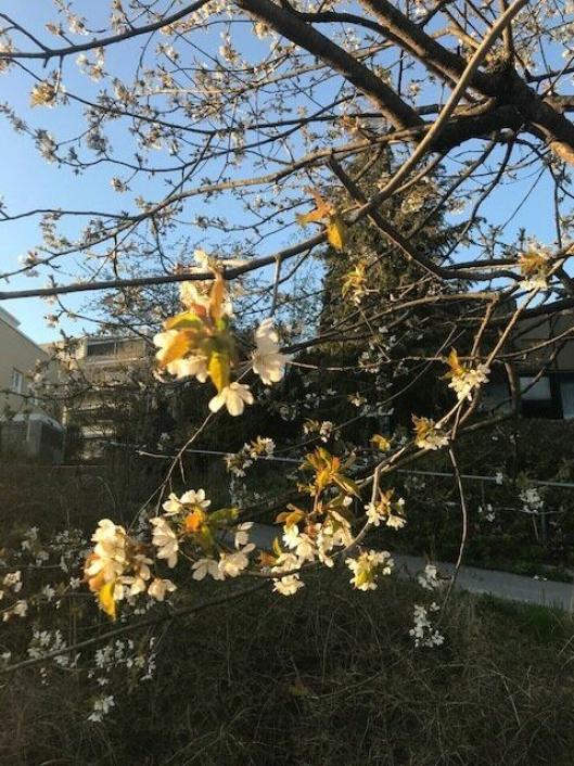 FLOTT OG NYTTIG: Kirsebærtre i blomst.