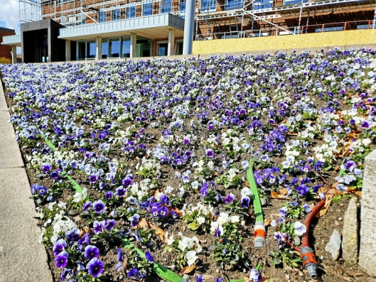 BLOMSTERHAV: Utenfor Nordre Follo rådhus i Ski er det plantet 6000 stemorsblomster allerede. Disse skal etter hvert tilfalle innbyggerne.