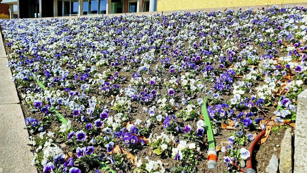 TUSEN PÅ TUSEN: Utenfor Nordre Follo rådhus i Ski er det plantet 6000 stemorsblomster. Tradisjonen i Ski har vært at innbyggerne senere i sesongen kan spa med seg blomster hjem, før kommmunen planter sommerblomster.