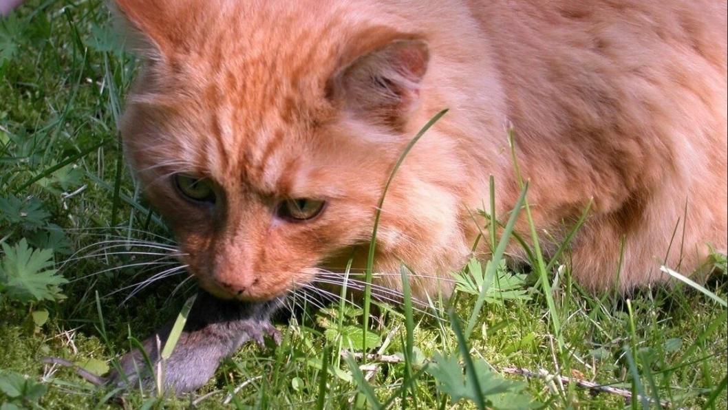 ALFAKLORALOSE: Katter kan bli forgiftet av å spise mus som har fått i seg musegift med stoffet alfakloralose.