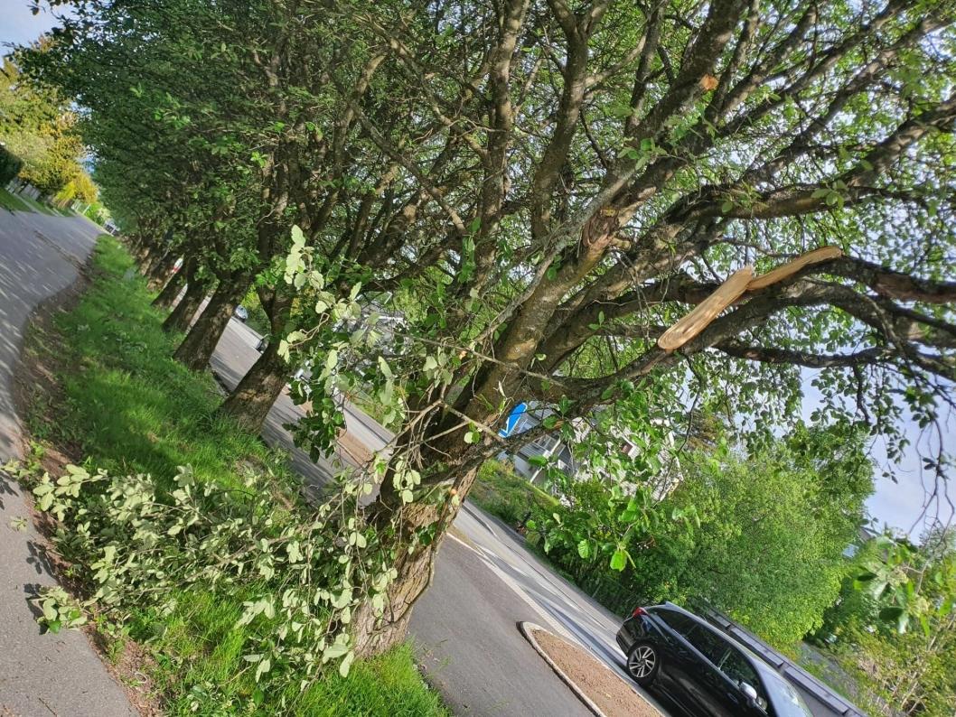 SKADET FLERE TRÆR: Flere grener på trærne i alleen ble skadet tirsdag 26. mai.