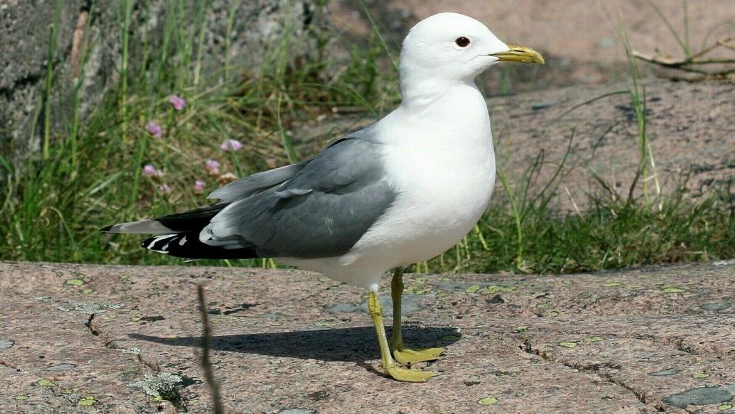 RØDLISTET OG FREDET I NORGE: En voksen fiskemåke er grå på ryggen, og har grønngule bein og nebb.