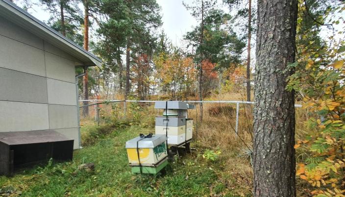 270.000 BIER FORDELT PÅ TRE BIKUBER: Barnehagen har drevet med birøkting i tre år og har 270.000 bier fordelt på tre bikuber per i dag. Foto: Yana Stubberudlien.