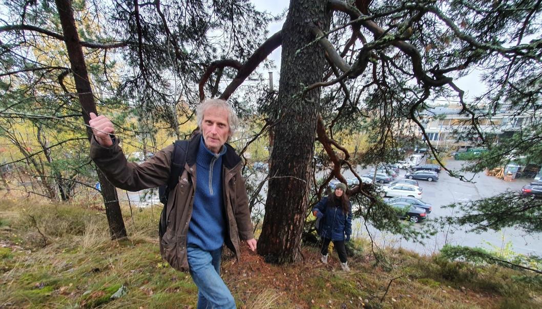 KAN VÆRE 250 ÅR GAMMELT: Furutreet bak Anders Often kan være 250 år gammelt. Sjekk også den flotte utsikten fra Kollen!