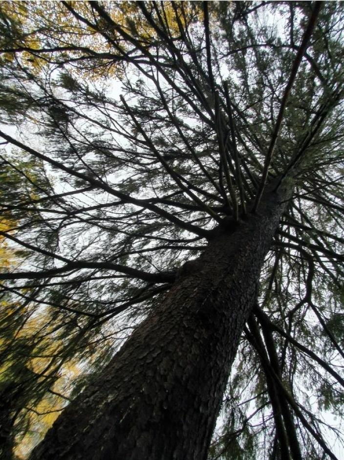 STORE TRÆR: – Trær akkumulerer biologisk mangfold med tiden. Store, gamle trær har en unik verdi nettopp i kraft av sin alder, sier Mariella Nora Isabella Filberg Memo fra Naturvernforbundet i Nordre Follo.