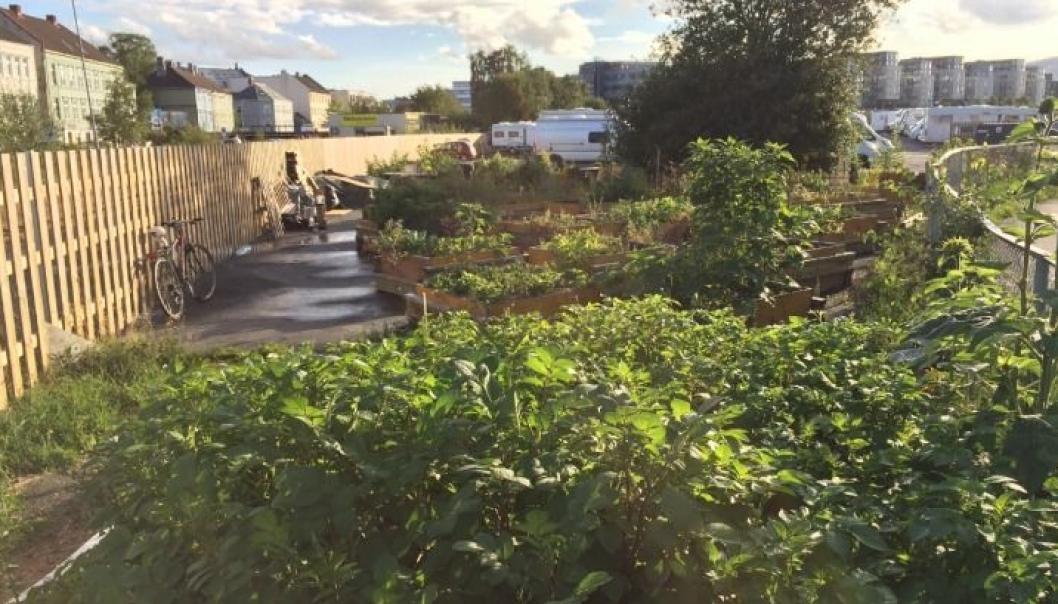 URBANT LANDBRUK: Hvor vil det passe å etablere urbant landbruk i Nordre Follo? Dette bildet er fra Havnehagen i Trondheim.