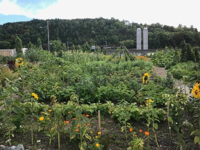 DYRKING AV MAT I OSLO: Det var i 2018 at MDG i Oppegård kom med et forslag for å se på muligheten for å sette av eget areal til dyrkning av mat etter inspirasjon av Losæter i Oslo. Parsellhagene der ligger rett over Operatunnelen og er et godt eksempel på hvordan urbant landbruk har slått rot i Oslo. Foto: Jens Nordahl