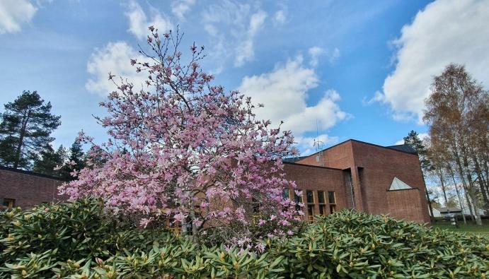 I FULL BLOMST: Sofiemyr kirke har et fint uteområde på den østlige siden. Her kan du også se en nydelig magnolia som er i full blomst akkurat nå. Foto: Yana Stubberudlien