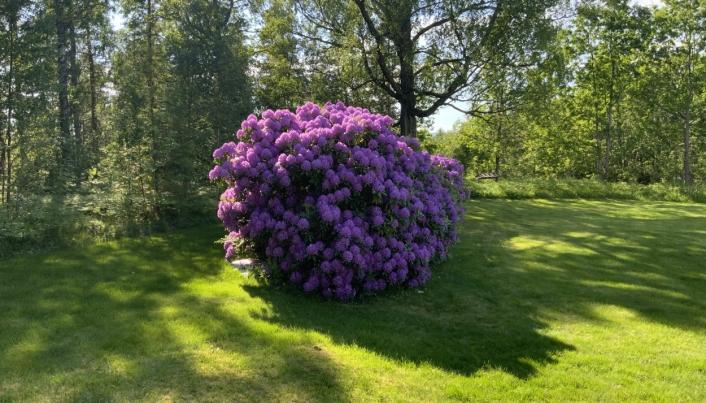 KAN VÆRE RUNDT 200 ÅR GAMMEL: Denne busken er nesten fire meter høy, tre meter bred og ti meter lang, og den kan være rundt 200 år gammel.