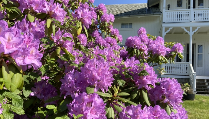 HUMLEVENNLIG: Rhododendron er både bie- og humlevennlig, så med litt sol og varme i luften kan den store busken være et ekte paradis for de nyttige insektene.
