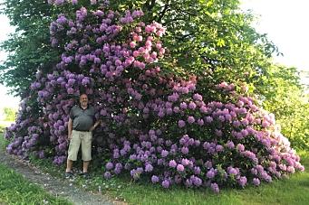 Jakten på kommunens største rhododendron fortsetter