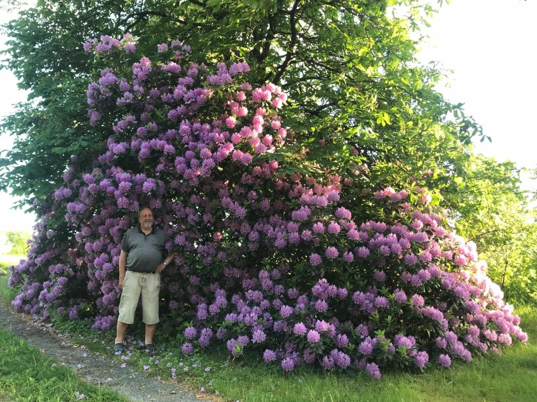 STOLT EIER: Tomm I. Svensen, som bor i Roald Amundsensvei 174A på Nedere Bålerud, er stolt av sin rhododendron. Foto: Privat