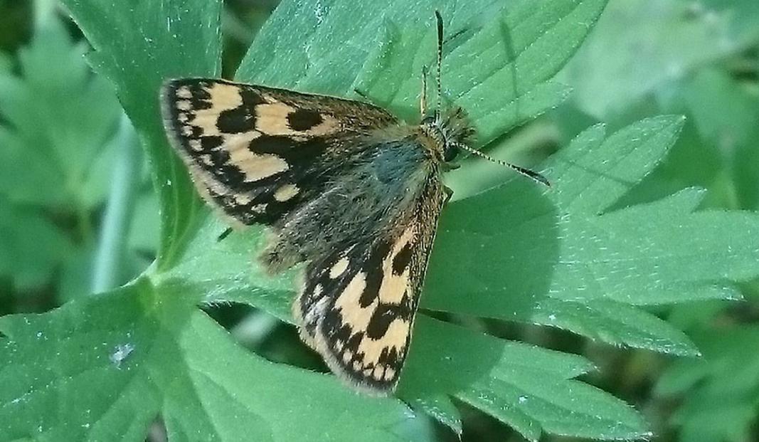 SVARTFLEKKSMYGER: Denne sommerfuglen er sjelden å se, ifølge forfatteren av dette innlegget.