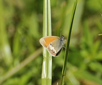 PERLERINGVINGE: Perleringvinge er også en sjelden sommerfugl.