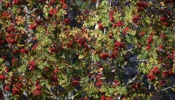 POPULÆRT MÅLTID: Høyt henger de og sure er de, sa reven i eventyret. Men, etter en frostnatt, eller to, er rognebæra velsmakende, synes sidensvansen og mange av de andre fuglene våre.