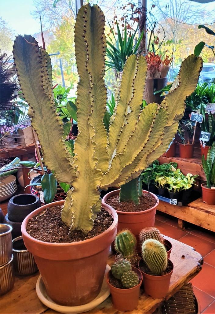 SJELDEN: Kaktusen Euphobia Variegata er et eksempel på noe utenom det vanlige, ifølge butikksjefen.